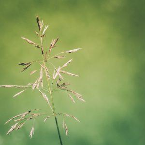 Græsfrø