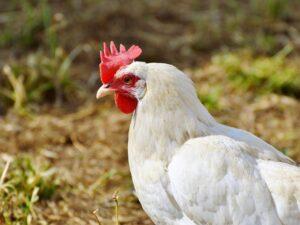 Hønsefoder