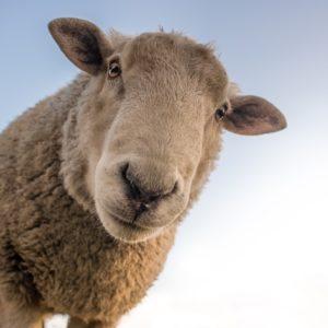 Foder til får