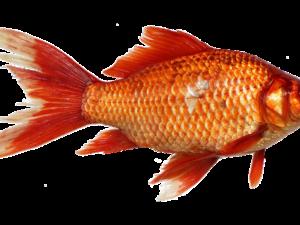 Foder til Fisk